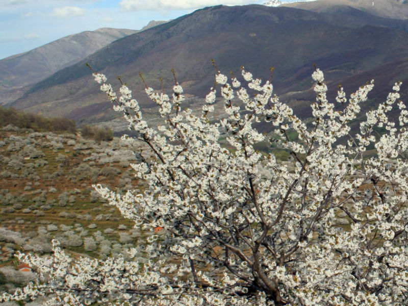 Valle del Jerte. Cerezos en flor.